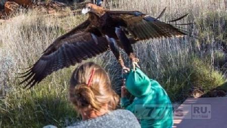Орел пытается похитить мальчика на шоу хищных птиц