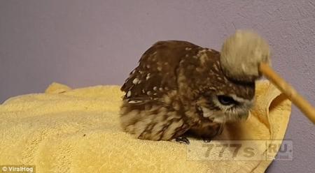 Симпатичная крошечная сова обожает, когда ей чешут голову