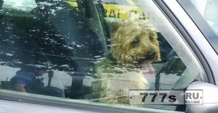 Полицейский разбил окно, чтобы спасти собаку из горячего автомобиля