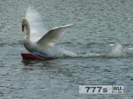 Агрессивный лебедь утопил модель катера и избивает уток и гусей на городском озере