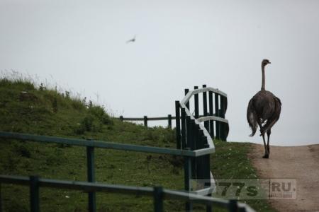Общественность предупредили, держаться подальше от «агрессивной» страусиной семьи