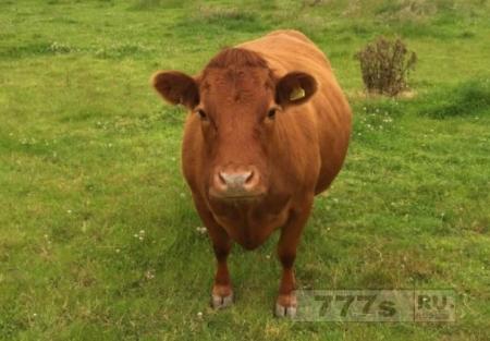 Корова Джеки беременна после мистической ночи