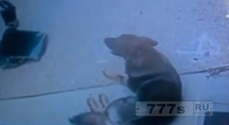 Воры спасли жизнь собаки после того, как взломали горячую машину, чтобы украсть ноутбук