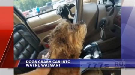 Собаки устроили автокатастрофу, пока их владелец ходил по магазину