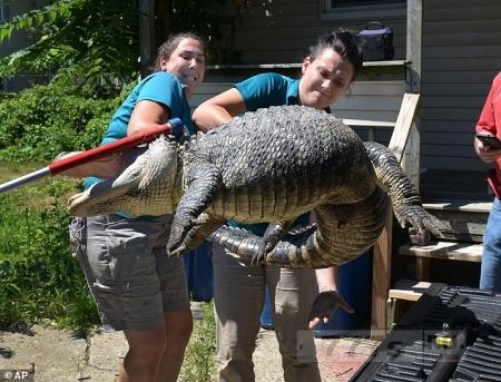 Полиция убрала 2-метрового аллигатора с зaднего дворa в Массачусетсе