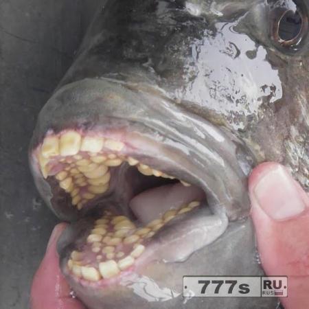Рыба с человеческими зубами обнаружена в озере Мичиган