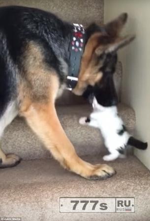 Огромная немецкая овчарка помогает котенку подняться вверх по лестнице