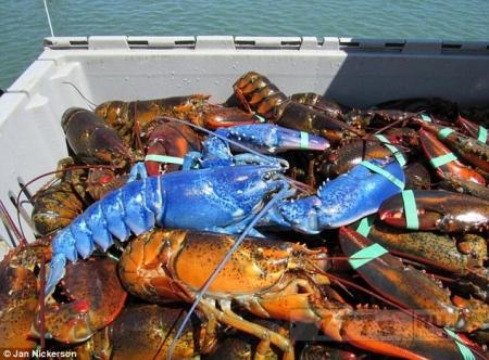 Рыбак ошеломлен, он поймал редкого синего омара