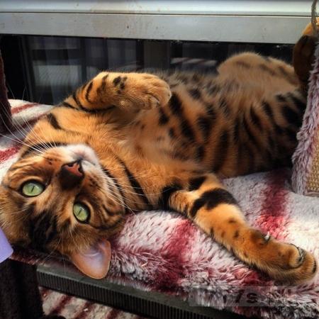 Тор бенгальский кот - новая звезда Инстаграма