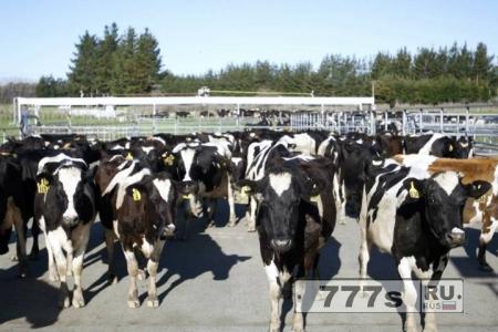 500 коров, похищены с фермы в Новой Зеландии необычным способом