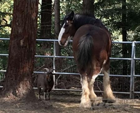 С помощью козла, коварный конь сбежал на целых 5 дней
