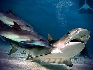 Интересно: почему акулы избегают дельфинов