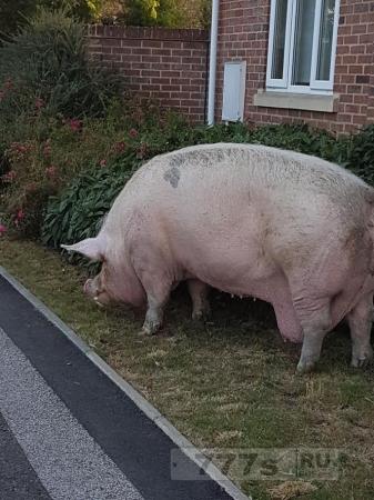 Гигантская свинья идет прямо через жилой комплекс, сбежав с соседней фермы
