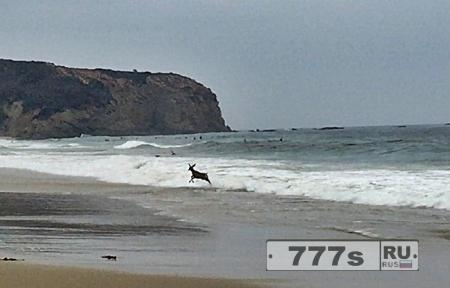 Олень прерывает занятия серфингом в Калифорнии