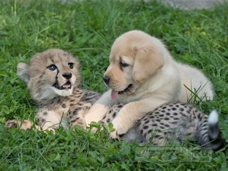 Котенок гепарда и щенок воспитываются вместе, возможно они останутся друзьями навсегда.