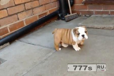 Прелестный щенок бульдога старается изо всех сил, чтобы подняться на дверной порог