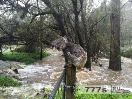 Промокший коала выглядит очень несчастным, спасаясь от наводнения