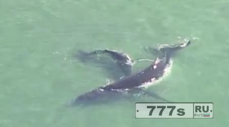 Детеныш Горбатого кита толкает свою мать на безопасное место