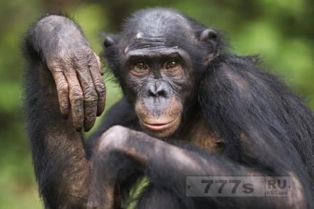 Наука доказала, что обезьяны могут «читать мысли друг друга»