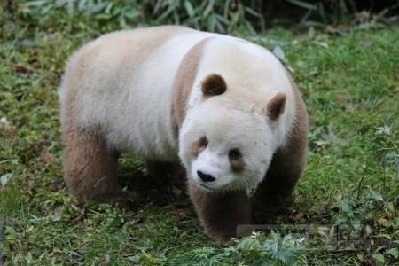 Над этим коричневым пандой издевались другие медведи из-за его меха