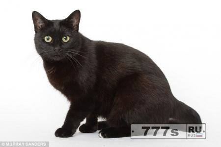 Суеверные Британцы отказываются держать черных кошек дома, они считают, что они принесут несчастье