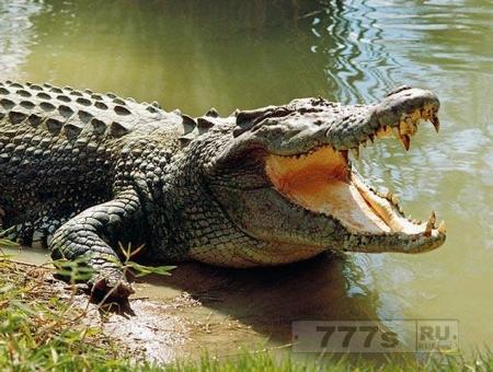 Кошмар! Гигантский крокодил нападает на парочку в бассейне дорогого отеля