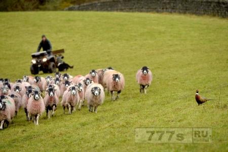 Фазан решил, что он овчарка