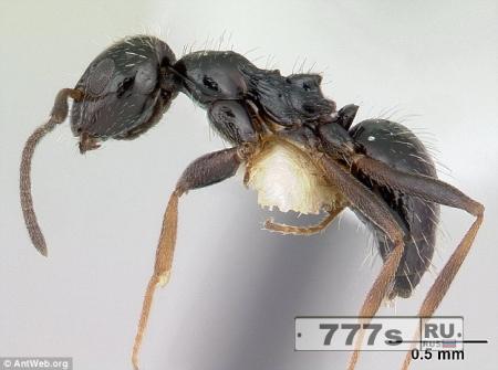 Эфиопские муравьи могут захватить власть над миром
