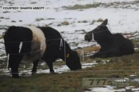 Лосиха Молли пытается подружиться с двумя коровами на ферме в Вермонте