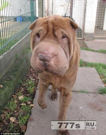 Любители собак уже собрали £ 1500, на подтяжку кожи мордочки для шарпея