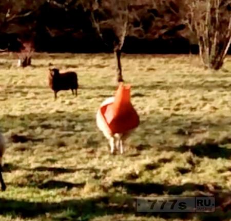 Овца напялила себе на голову дорожный конус, пришлось спасать