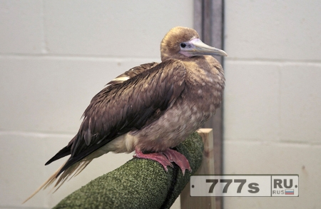 Водоплавающая птица олуша оказалась в Великобритании за 8000 км от того места где она должен была быть
