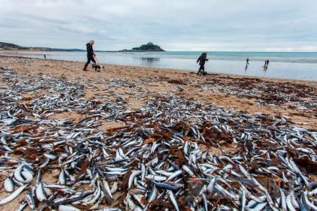 Как десятки тысяч мертвых рыб оказались на берегу в Великобритании во второй раз в этом месяце