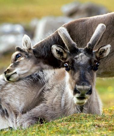 Наука: глобальное потепление вынуждает оленей худеть
