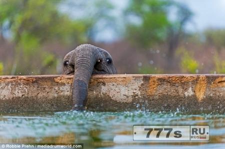 Слоненок выглядит как герой из мультфильма, когда он заглядывает через стену в Южной Африке