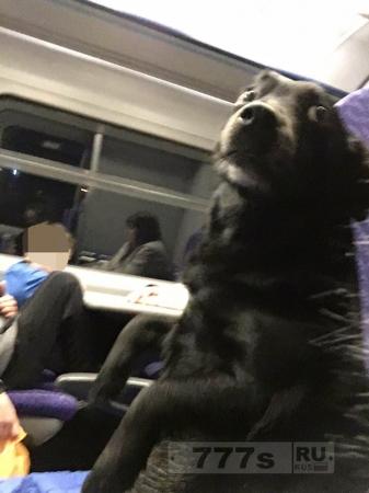 Собака думает, что она человек и сидит в вертикальном положении на сиденье поезда