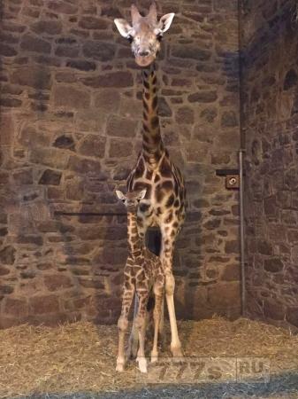 Родился еще один Ротшильд … жираф