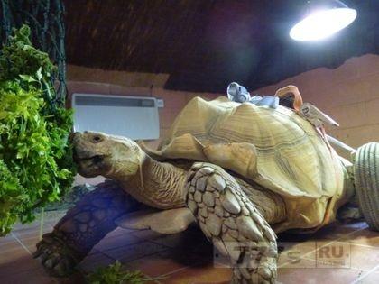 Черепахе по прозвищу Дон Хуан потребовались колеса.