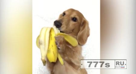 Такса с удовольствием ест банан