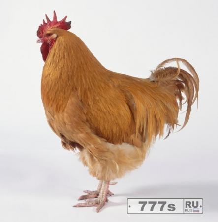 А вы говорите курица …
