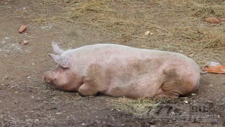 Свинья стала препятствием в туннеле
