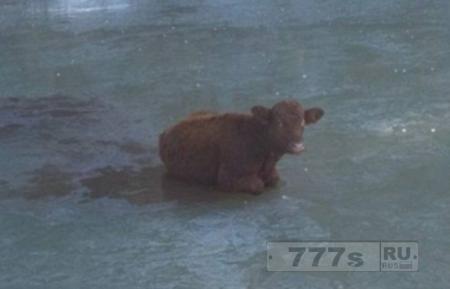 Корова была спасена из замерзшего пруда.