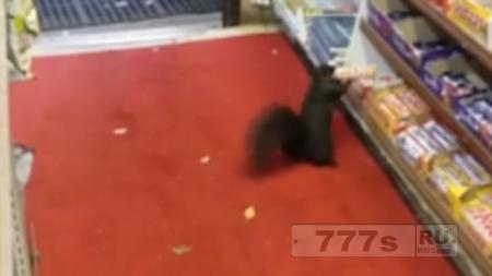 Владелец магазина просит защитить его от белки ворующей десятки шоколадных батончиков.