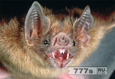 Летучие мыши-вампиры в Бразилии впервые начали питаться кровью люд … млекопитающих.