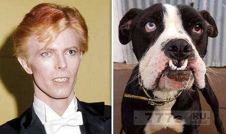 Звездная собака: боксер с глазами как у Дэвида Боуи становится интернет-сенсацией.