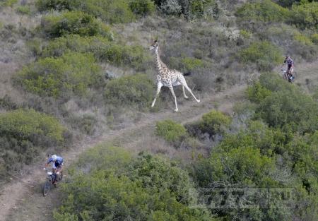 Спортивный жираф вступил в гонку со спортсменами на горных велосипедах.