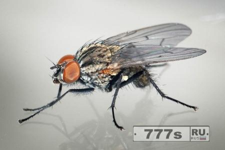 Китайские мухи разносят опасные бактерии.