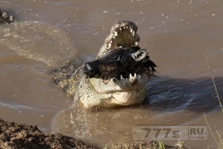 Жесткий момент огромный голодный крокодил сжирает откушенную голову зебры.