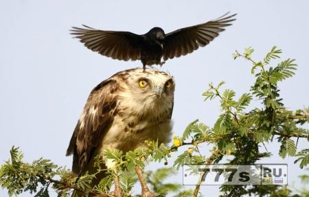 Смешной момент яростная ворона садится на сову пытаясь прогнать ее из своего гнезда.