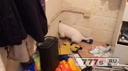 Прелестного щенка американского бульдога спасли после того, как его голова застряла.